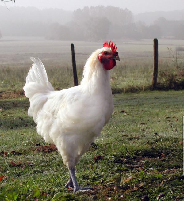 vente directe poulet de  ferme